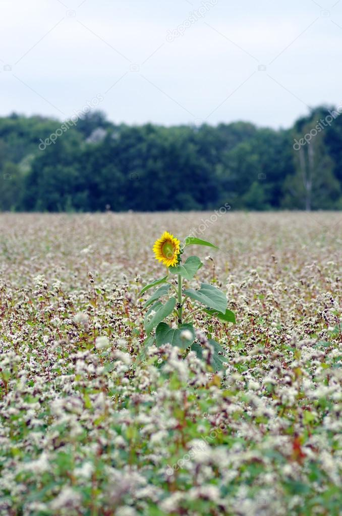 Golden sunflower in the field of buckwheat.