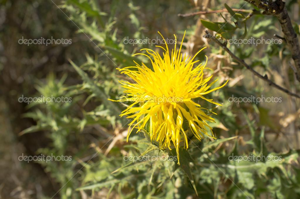 Yellow thistle flower stock photo olafspeier 27030917 yellow thistle flower stock photo mightylinksfo
