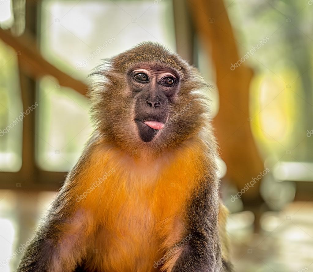 Funny Capuchin Monkey