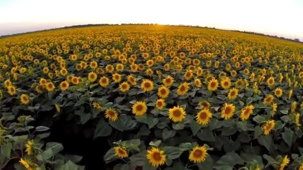 Anténa: letu nad polem slunečnice v západu slunce