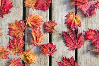 Japanese Maple Tree Leaves on Wood Deck