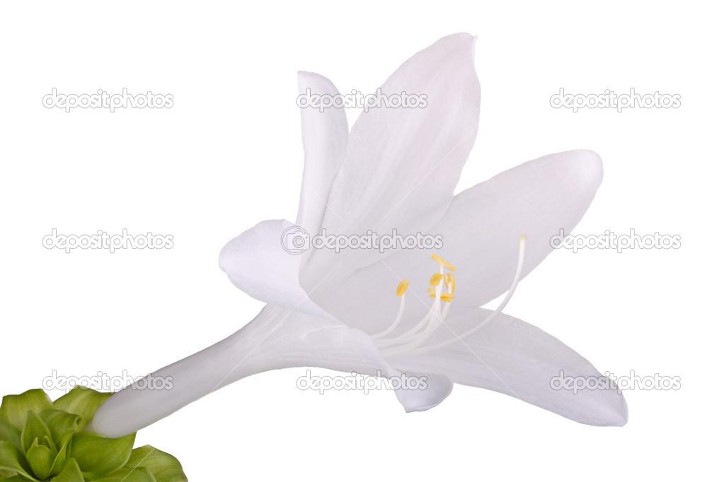 Einzelne Blume von einer Hosta isoliert gegen weiß — Stockfoto ...