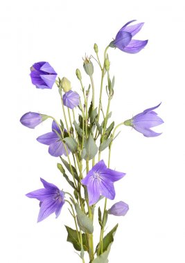 Flowers, buds and leaves of balloon flower on white