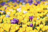 Fotografie Krokus Blumen