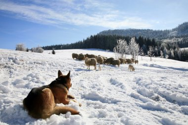 German Shepherd guarding herd of sheep