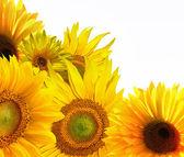 žluté slunečnice na bílém pozadí