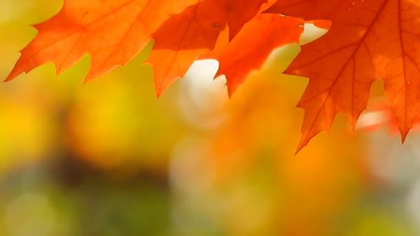 podzimní listí javor