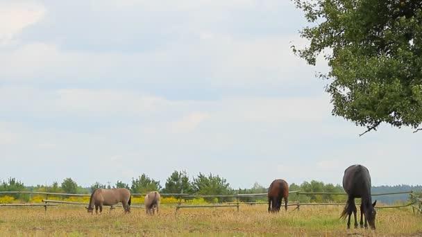 koně, pastva
