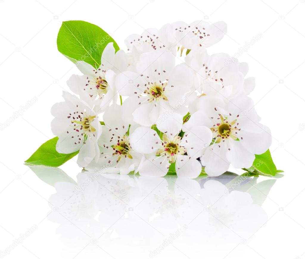 Spring flowers of fruit trees isolated on white background