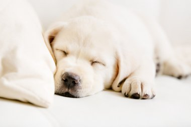 Close up of sleeping labrador puppy on the sofa