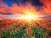 Fotografie Field of red poppies
