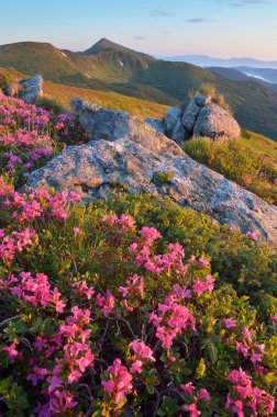 Blooming rhododendron in mountains