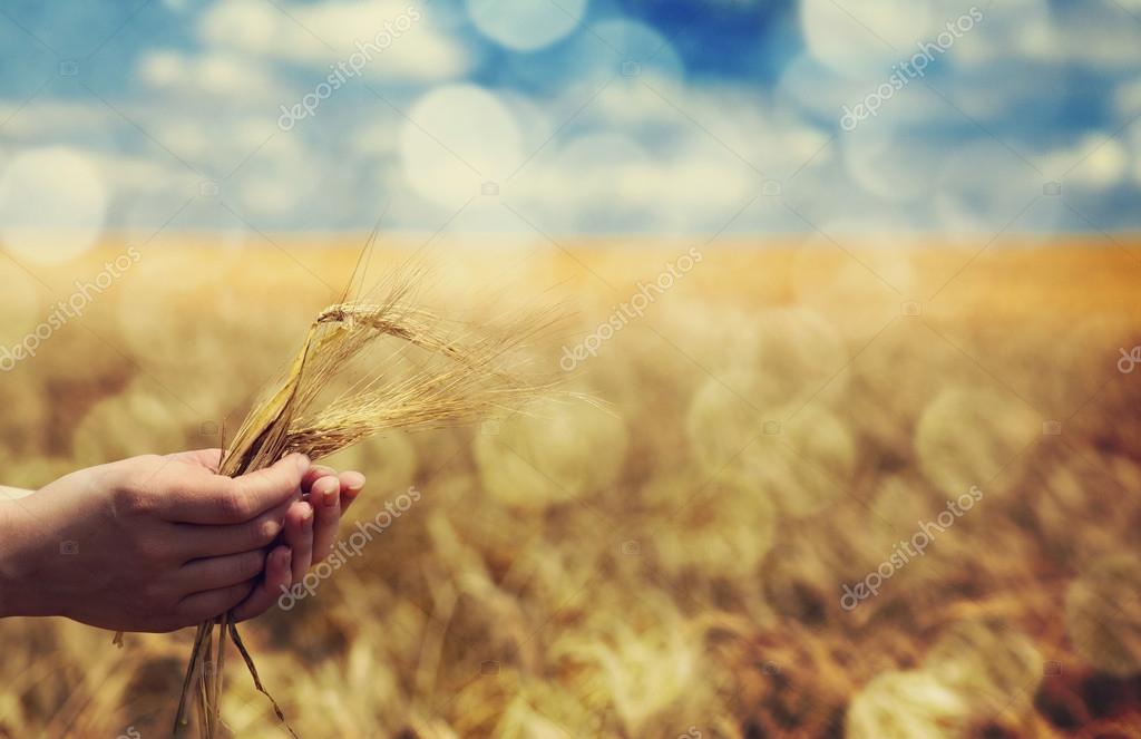 Farmer hand keep green wheat spikelet.