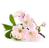 Photo Cherry twig in bloom isolated
