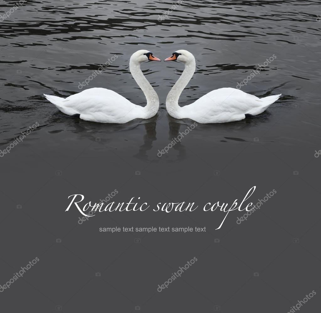 Romantic swan couple