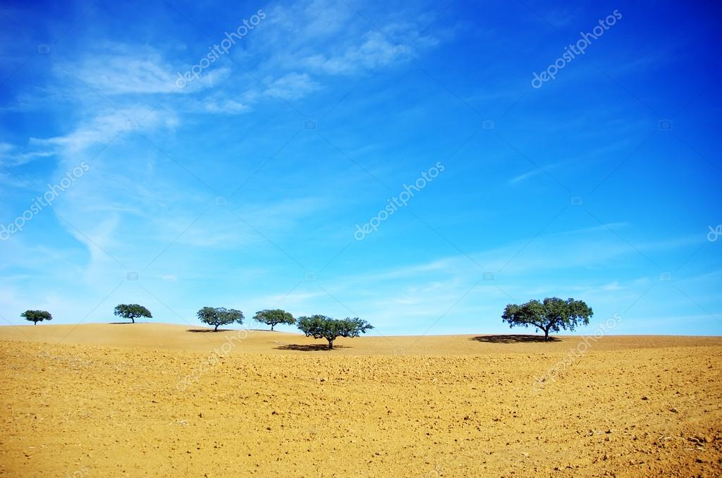 Oak trees in dry field, Alentejo, Portugal