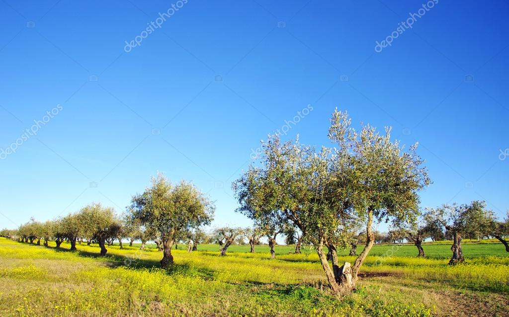 yellow field and olive tree