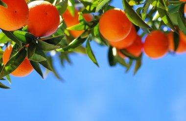 Ripe oranges on blue sky