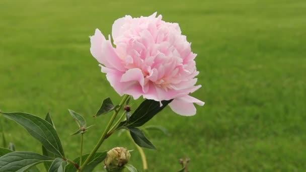 pivoňky růžový květ