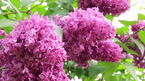 Aromatic lilac