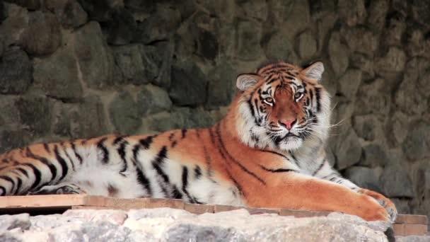 tigre dellAmur