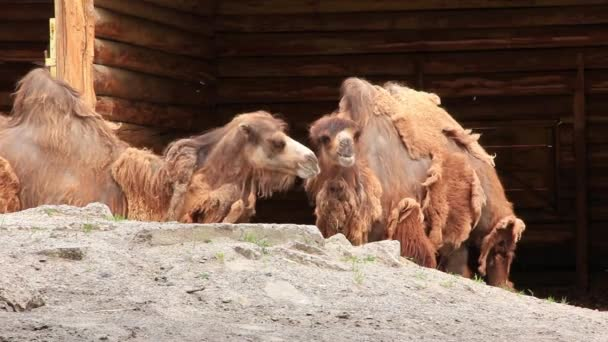 Two-humped camels