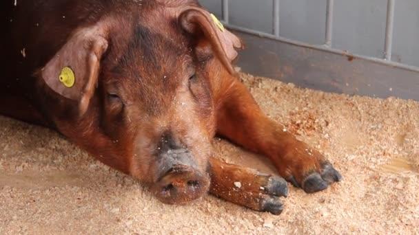Schwein auf Tierhaltungsbetrieb. Schweinehaltung