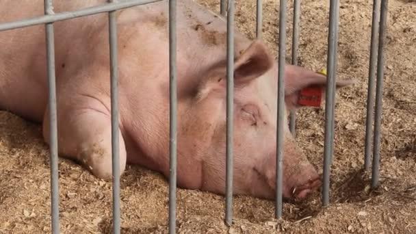 Schwein Leben