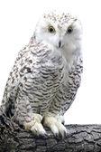 Photo Eagle-owl