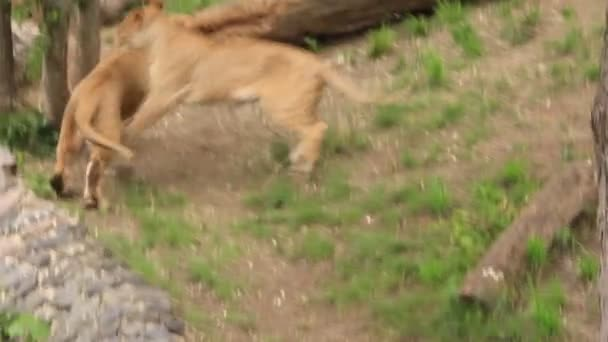 Aggressive lionesses