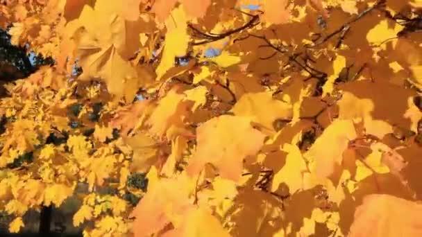 Őszi sárga levelek