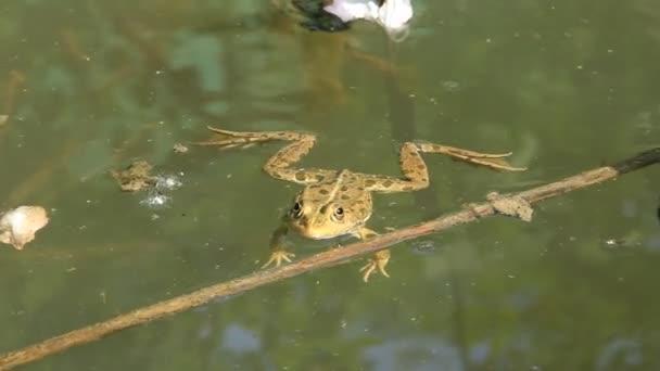 ranidae - echter Frosch