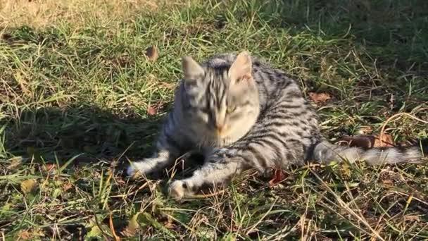 šedá kočka