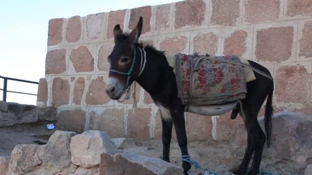 Donkey. Mount Sinai. Egypt