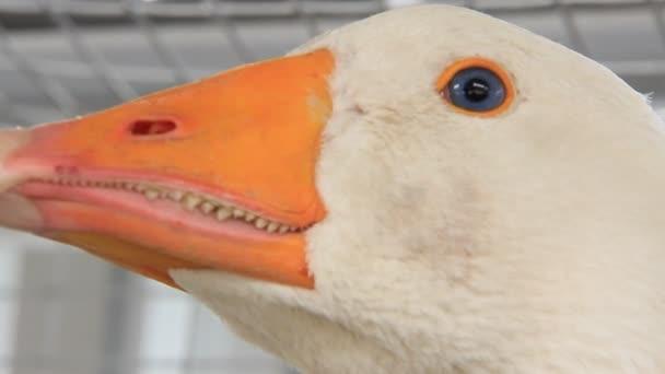 Poultry farm. Goose