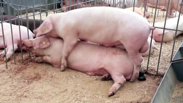 Couple of pigs