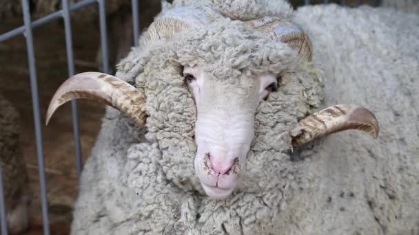 bílé ovce s velkými rohy