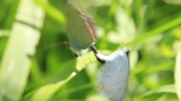 Két gyönyörű pillangó a gyártás szex