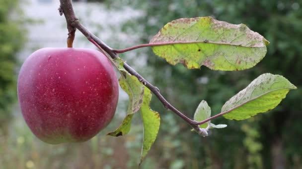 červené zralé jablko na větvi se zelenými listy