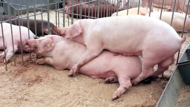 Смотреть секс порно люди со свиньей