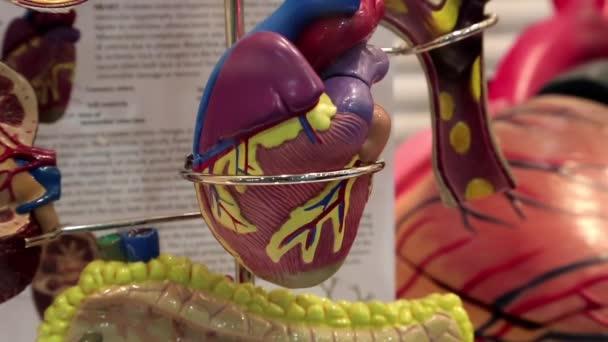 modell-szív