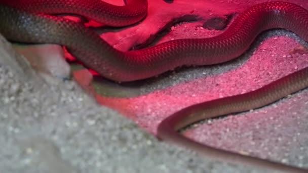 had pod červenou v teráriu