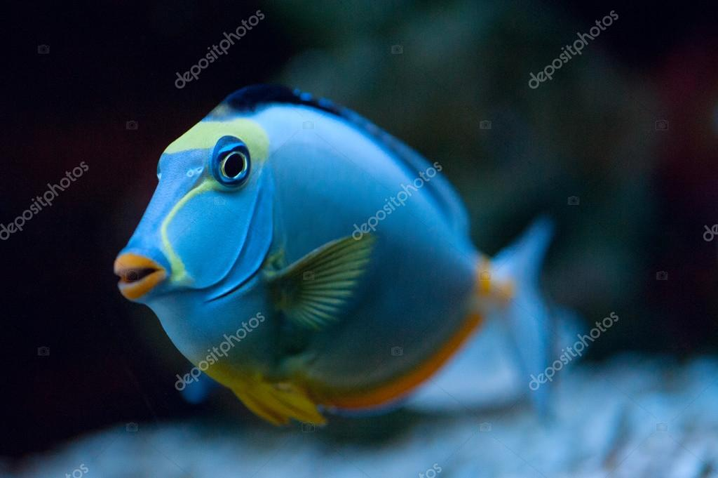 Tropical Fish Naso Tang