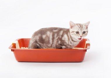Small scottish kitten in red plastic litter cat isolated on white
