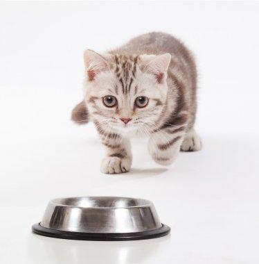 Scottish kitten rushing toward a bowl