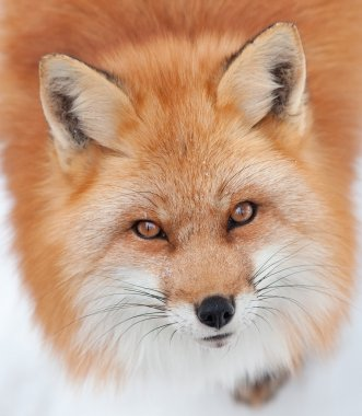 Young Red Fox Looking up at the Camera