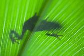 Froschschatten