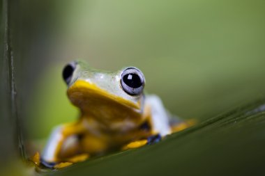 Frog with yellow abdone