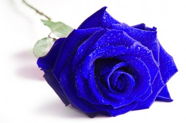 Blue rose isolated on white background
