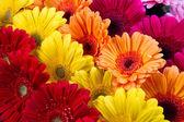 Gerber virág